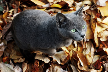 Russian Blue – Why I wrote about this breed